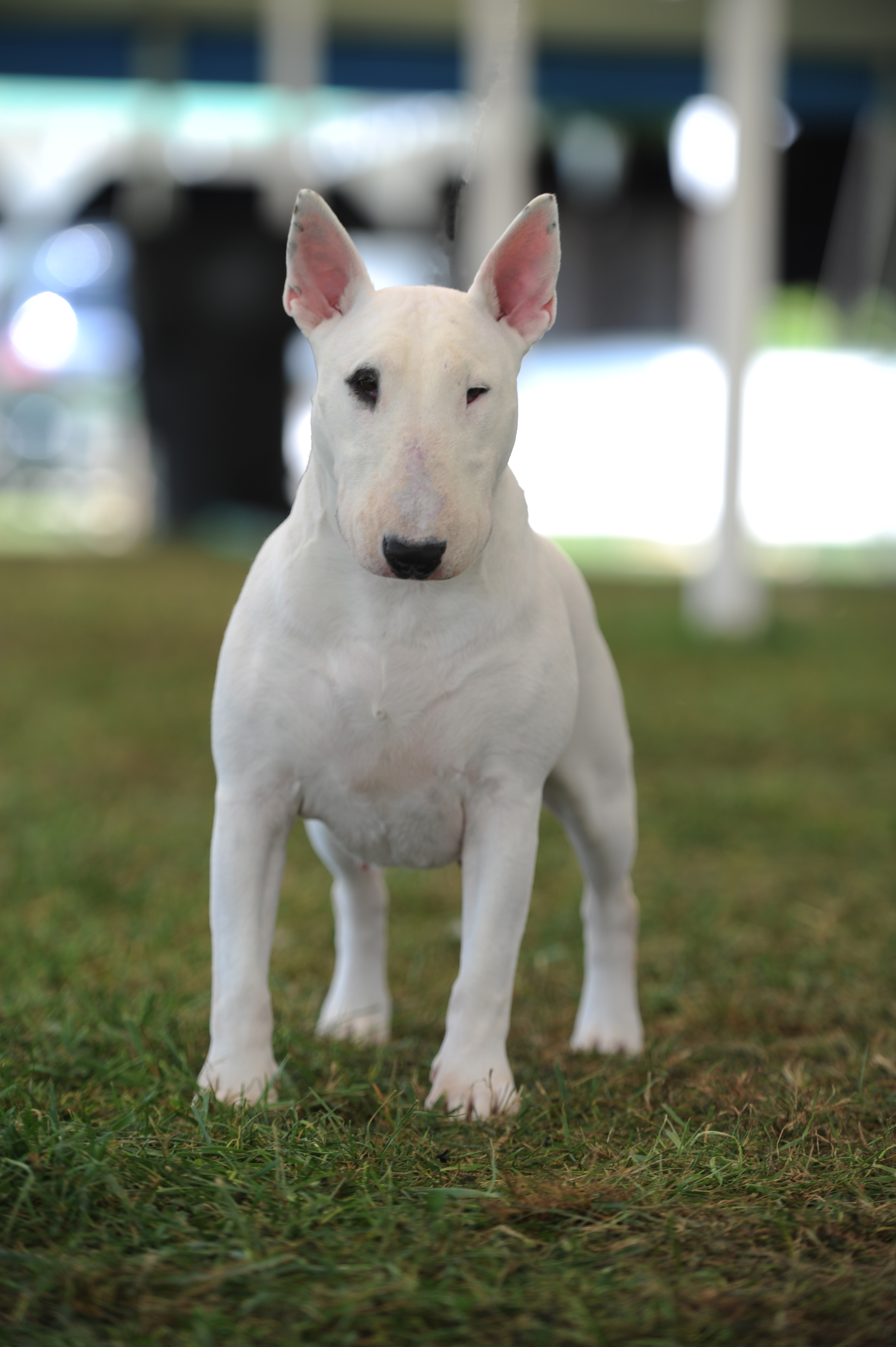 Stunning Bull Terrier Toy Pictures - Transformatorio.us ...